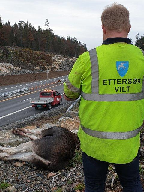 To elg ble skutt av fallviltgruppa ved nye E18 i Tvedestrand onsdag morgen.