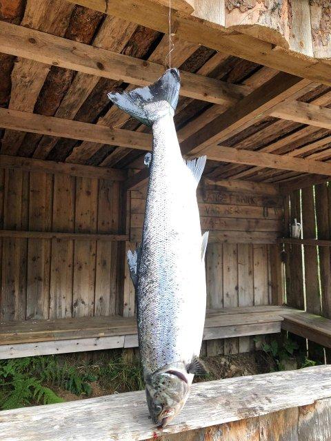 OPPDRETTSLAKS: Kurt Morgan Galdal tok denne oppdrettslaksen på 1,8 kilo på flue ved Slimestad i Kvina 31. august.