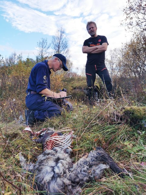 Kristian Tvenning (bak) følger nøye med når Magne Kristoffersen fra Statens Naturoppsyn undersøker det døde lammet rett ved veien.