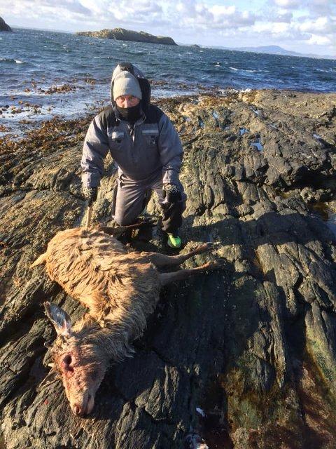 Uvanlig syn: En hjort på rundt 50 kilo lå strandet på Kvitsøy tirsdag ettermiddag.