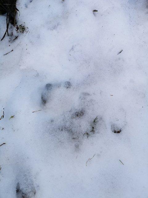 SPOR: En beboer i Rekefjord fant flere spor i hagen. - Sporene etter dyret var så store at jeg må si jeg lurte på om de kunne tilhøre en ulv. På bildet har det regnet, og sporene er blitt mer utydelige, forklarer han.