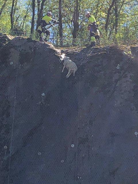 BOM FAST: Sikringsnettet sørget på sett og vis at sauen ikke fikk et fatalt fall ned fjellsida. Brannvesenet fikk reddet sauen opp.