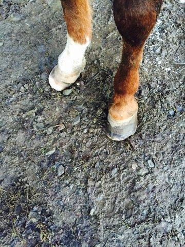 FERDIG: Slik ble hovene etter at hovslageren hadde gjort jobben med å beskjære hovene.