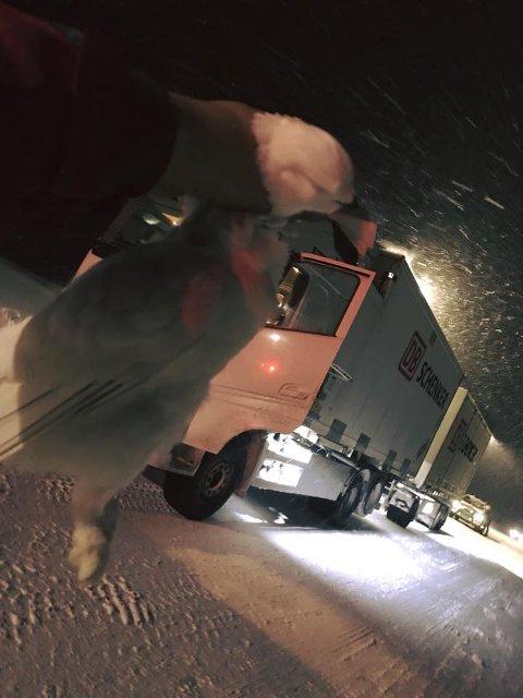 Dette er rypa som Simon Vie fekk i grillen på vogntoget sitt på Hemsedalsfjellet. - Eg hadde vinter-kamuflasje på vogntoget, seier Vie.