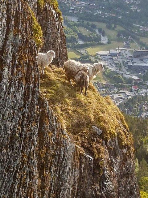 SKÅRFAST: God utsikt, men lite mat for sauene på denne fjellhylla på Viefjellet. Fredag fekk dei hjelp til å komme seg ned.