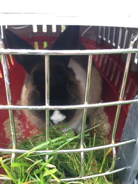 I BUR: Denne kaninen  vart funnen forlatt på Haugum.