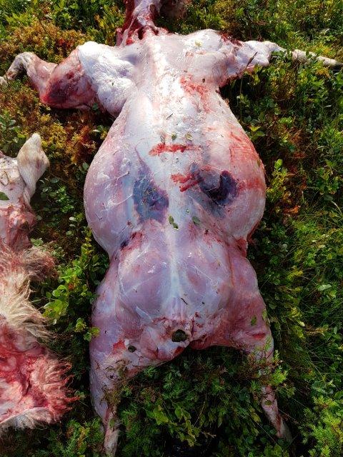 NYTT KADAVER: Statens naturoppsyn gjorde undersøkingar og slo fast at det er ulv som står bak eit sauekadaver som blei funne i Hyllestad denne veka.