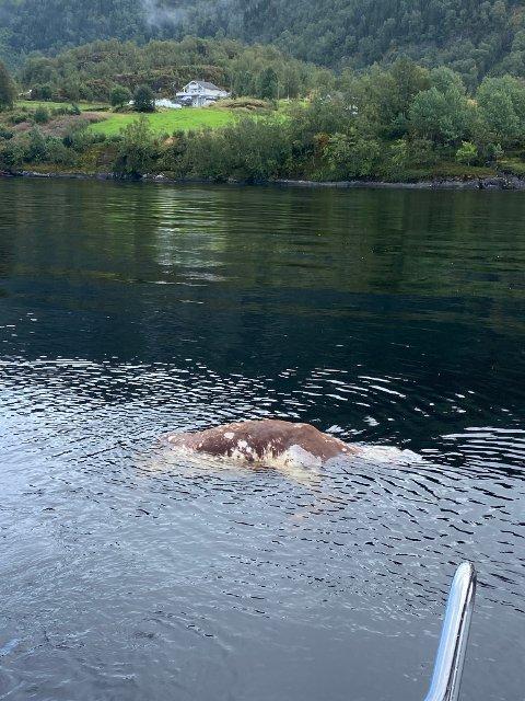 FLAUT I SJØEN: Ei daud ku vart funne flytande i sjøen ved Kråkenes i Førde søndag ettermiddag.