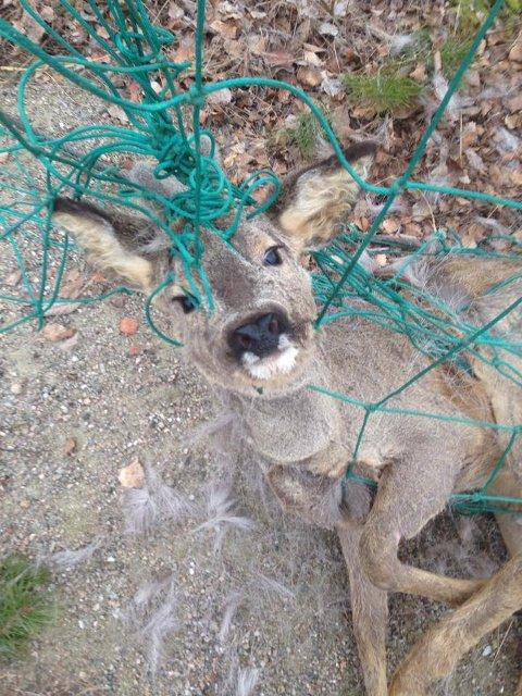 SURRET SEG FAST: Kalven surret seg fast i nettet ved Rolvsøyhallen og kom seg ikke løs.
