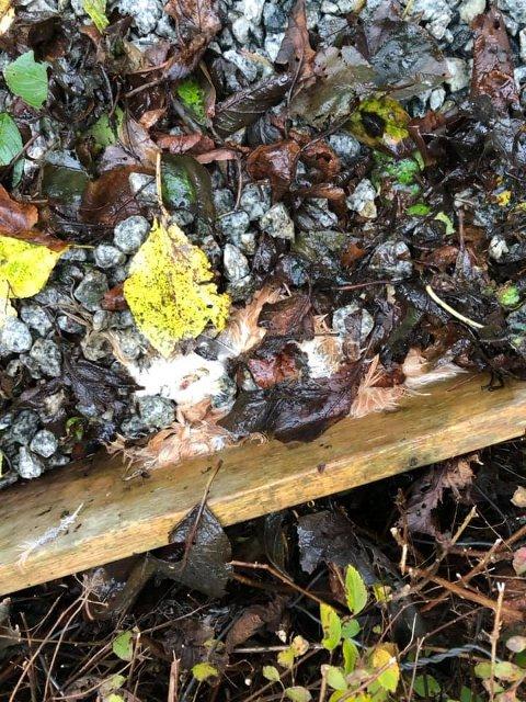 Her ligger en av hønsene begravet.