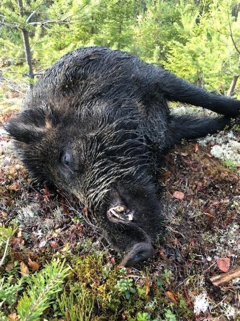 VILLSVIN: Mathis Briskerud felte dette villsvinet i Salberget lørdag.