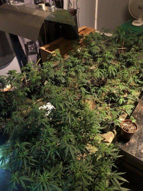 LITEN PLANTASJE: Politiet rykket ut på husbråk og avdekket en mindre cannabisplantasje i Åsnes.