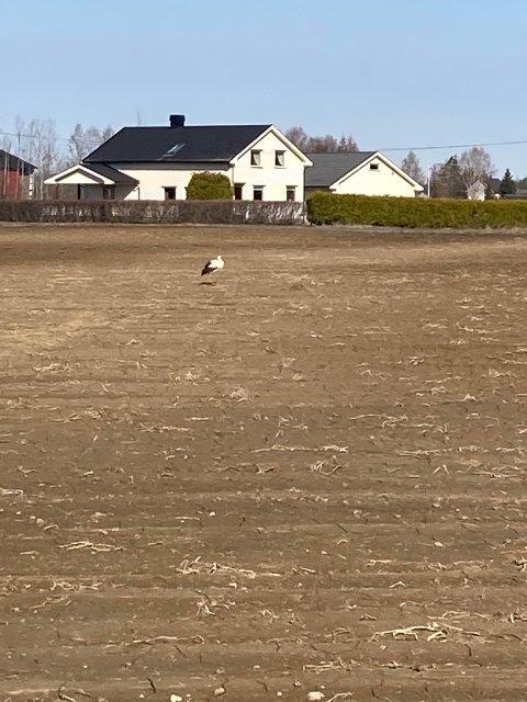 STORK: Her har storken landet på et jorde på Namnå, og Svein Olav Ruud fikk fotografert den sjelden fuglen. Dette er første observasjon av stork som er meldt inn i år.