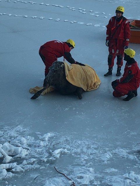 Brannvesenet fester selen på elgkua. På land står hennes to kalver og følger med på dramaet ute på isen.