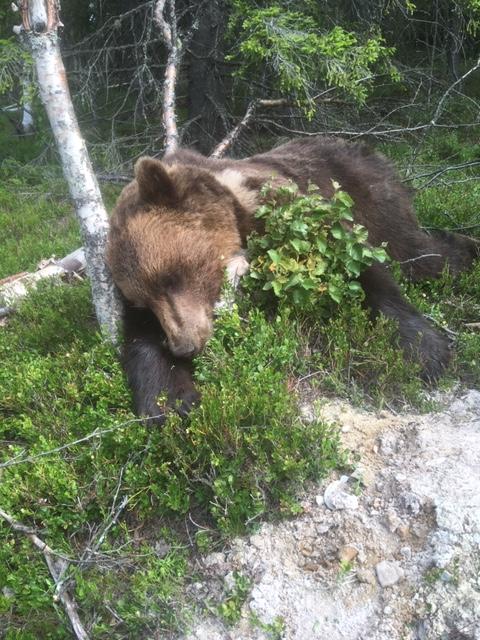 HANNBJØRN: Det var en voksen hannbjørn som ble skutt ved Gåla i Stor-Elvdal klokken 10.30 onsdag. Fellingslaget kjente lett igjen bjørnen på den hvite flekken på halsen. (Foto: Privat)
