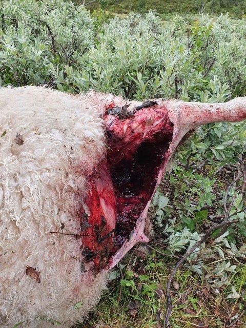 Til nå har seks sauer mistet livet på grunn av ulv i Fåvangfjellet. Fire søyer og to lam er avlivet. Mange flere er skadet, og letingen fortsetter i dag.
