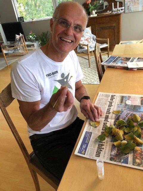 Forsker Martin Sørensen skraper bjørkerustsopp av infisert løv hjemme på kjøkkenbordet. Bjørkerustsoppen brukes til å lage allergitester.