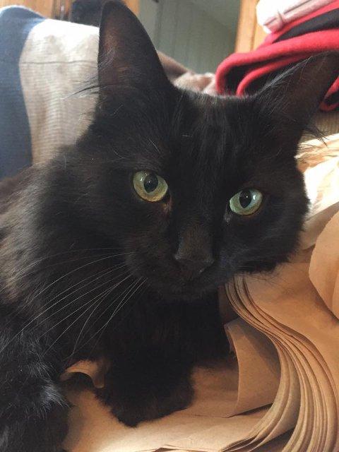 SAVNET: Denne svarte langhårete hannkatten er savnet fra Eidsandvegen i Nordre Brandbu.