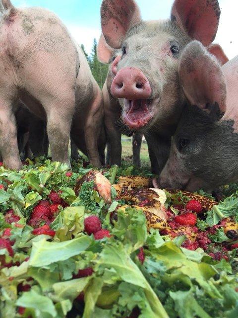 FRUKT OG GRØNT: Det er ikke bare kaker det går i for grisene. Litt frukt og grønt må også til.