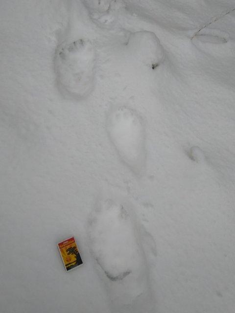 NYE JERVESPOR: Søndag 6. desember ble det funnet spor etter en ny jerv ved Eina Almenning.
