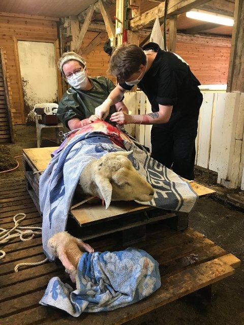 Mission completed: Mor har fått lammet framfor seg, medan Jostein Skare Thygesen legg siste hand på verket etter keisarsnittet. Veterinær Ingrid Dale instruerer veterinærstudenten.