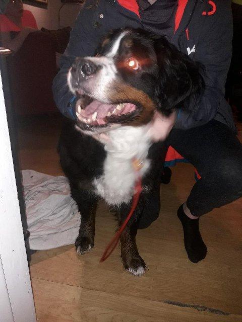 TOK VARE PÅ: Politiet tok torsdag kveld på en hund i Mosjøen av typen Berner Sennen.