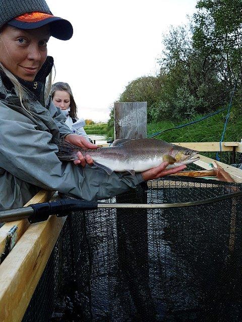 FØRSTE PUKKELLAKS: Fiskerne i Nesseby ønsker å få overtaket på antall pukkellaks som finnes i elva og har derfor satt opp en laksefelle. Regine Mathisen viser fram den første pukkellaksen som ble fanget av fellen.