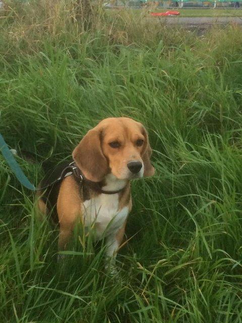 SAVNET: Hunden Netti har vært savnet siden onsdag kveld.