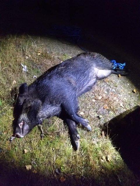 PÅKJØRT: Villsvinet måtte bøte med livet etter å ha blitt kjørt på.