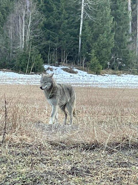 Høyesterett har fatslått at det er lov å felle ulv utenfor ulvesona. Foto: Privat