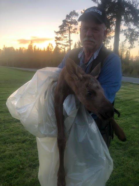 Einar Holum bærer den nyfødte elgkalven til skogs. - Noe sånt har jeg ikke vært borti før, sier han.