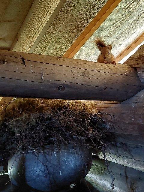 Ekornfamilien har bygget bol i separatoren på stabburet.