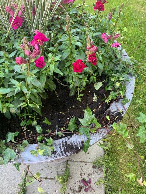 PROBLEM: I flere år på rad er det noen som rapper blomster fra blomsterpottene til kommunen.