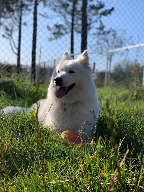 KAN IGJEN SOSIALISERES: Gjeterhunden Rikki er overlykkelig over å igjen kunne leke rundt med sine firbente venner i hundeparken.