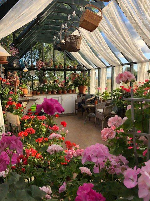 """FÅR MYE OPPMERKSOMHET: Det største drivhuset kalles """"Pelargoniahuset"""", og består av en samling på over 300 forskjellige planter. Disse er det moren Grethe som steller med."""