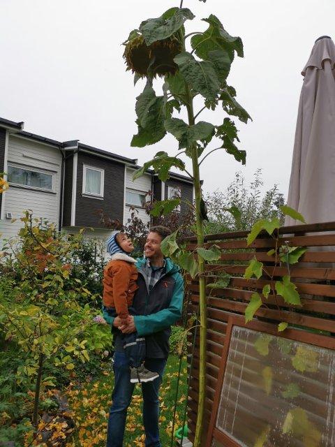 3,25 METER: Alexander Storsve og sønnen Edvin gikk seirende ut av Tove Kongsviks solsikkekonkurranse. Vinnersolsikken rager drøyt tre meter over bakken.