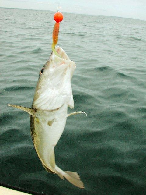 Forbud: Fiskeriderektoratet foreslås å forby torskefiske innenfor visse områder langs kysten, Kragerø kommune er enig om at forbud må til for å bygge opp kysttorskestammen igjen.Arkivfoto: Roar Thorsen