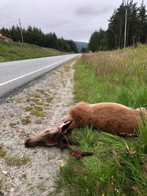 Denne hjorten vart påkøyrt for rundt ein månad sidan, ved Stripo. Det er der flest køyrer på hjort. (Foto: Atle Helland).