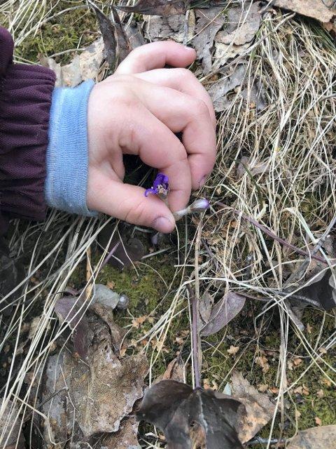 VÅRTEGN: Lotte Johansen Lihagen (4) har funnet blåveis hjemme i hagen.