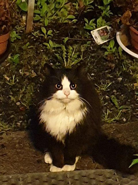 KOMMER IKKE HJEM: Hannkatten Rusken (5) er over lengre tid borte hjemmefra og når han kommer hjem lukter han sterkt av dameparfyme.  Foto: Privat.
