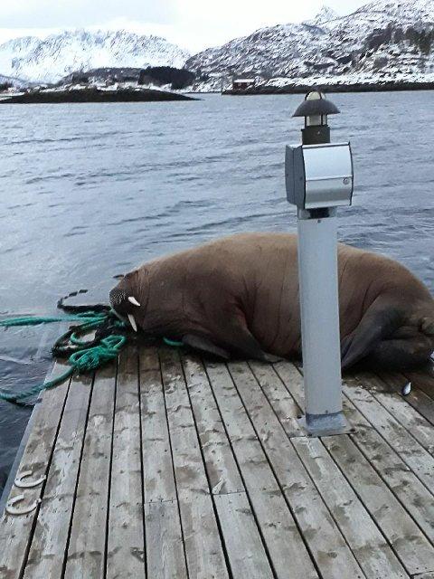 Bedagelig: Søndag formiddag lå hvalrossen fortsatt i båthavna. - Det så ut som han hadde det ganske bedagelig, sier Peder Kilvær, som først observerte hvalrossen fredag kveld.