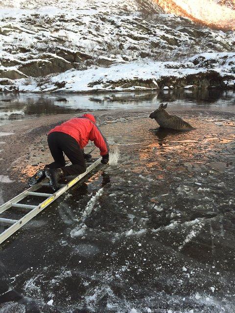 Viltnemnda prøvde i to timer å redde elgkalven opp fra Svolværvannet, men den var lam i bakkroppen, og måtte avlives søndag.