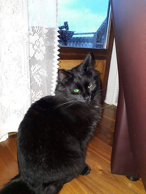 Bitt: Katten Figaro ble bitt av tre flått på to dager.