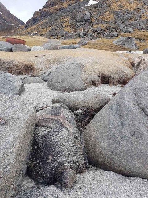 GODT GJEMT: Den døde selen lå godt gjemt mellom steinene.