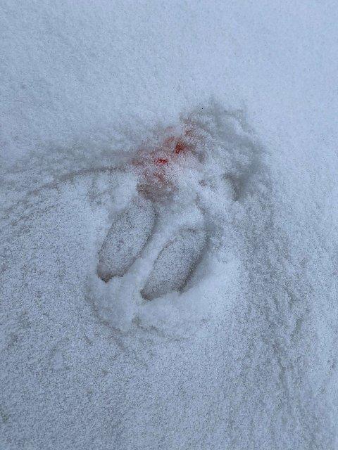 Blodige spor: Disse sporene ble sett ved Åvika tidlig mandag morgen.