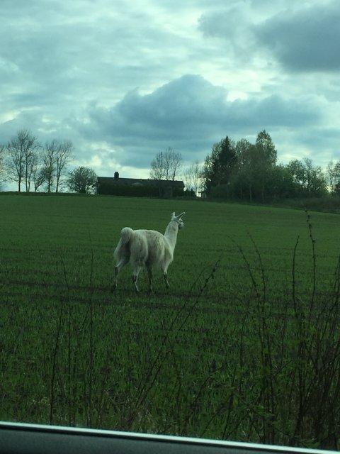 En av lamaene fotografert av Casper og Carla Klepp Fundingsrud.