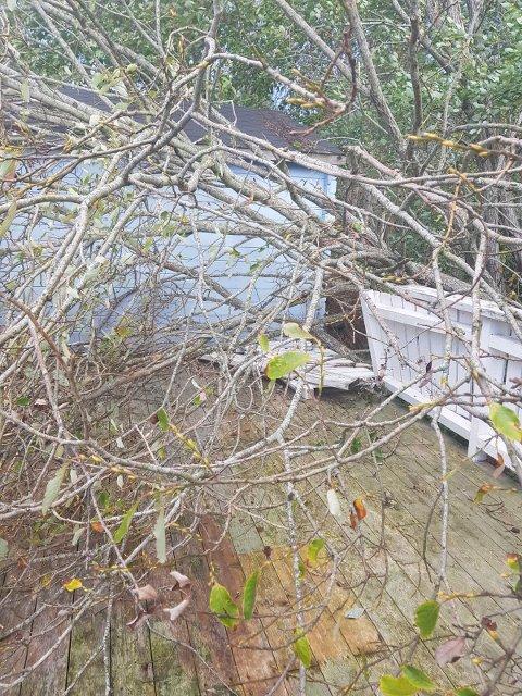 RYGGE: Dette treet kom deisende inn på verandaen til en familie i Hananbakken.