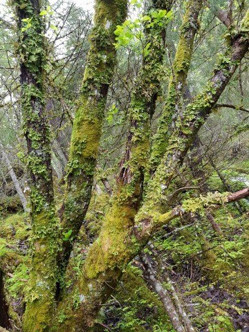 Foreslås vernet: Boreal regnskog i Engan/Liabogen, Namsos.
