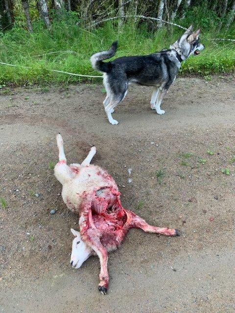 TATT AV BJØRN: En ihjelrevet sau ble funnet i Bangdalen tidlig tirsdag morgen.