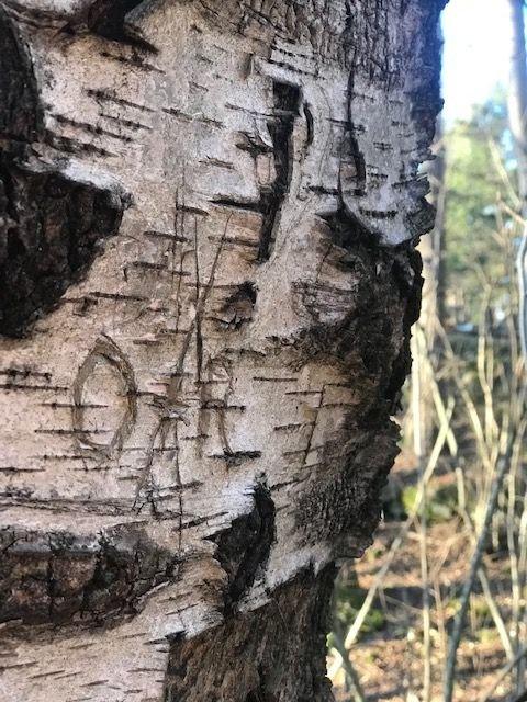 Her er bjørketreet ved gamlelinja. En gang var pappa litt sur på mamma og skar gjennom hjertet de hadde laget. Det ble i ettertid fikset på, og treet er ofte et turmål for hele familien.